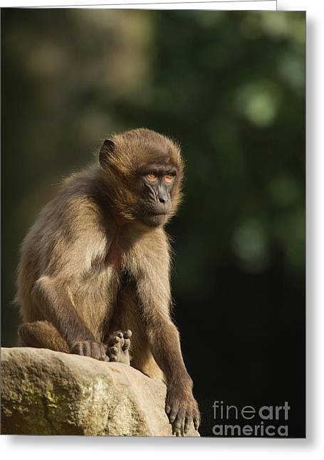 Sitting On Rock Greeting Cards - Young Gelada Baboon Greeting Card by Helmut Pieper
