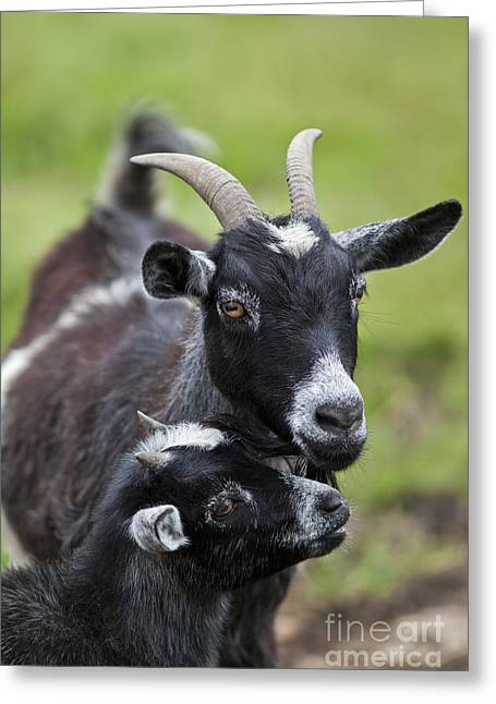Caring Mother Greeting Cards - Young goat with mother Greeting Card by Brandon Alms