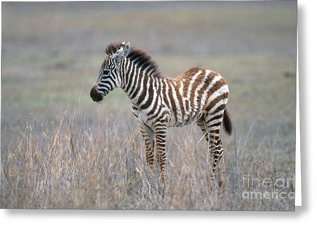 Zebra Colt Greeting Cards - Young Grants Zebra Greeting Card by Art Wolfe