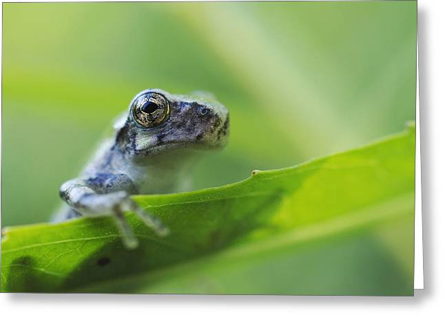Versicolor Greeting Cards - Young Gray Tree Frog Les Cedres Quebec Greeting Card by Steeve Marcoux