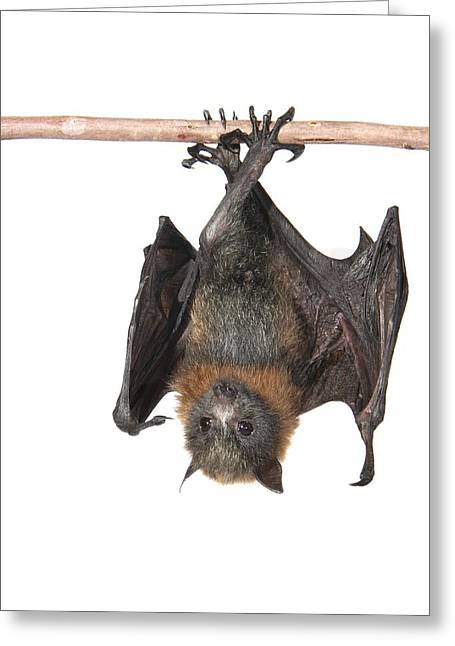 Biology Greeting Cards - Young grey-headed flying fox Greeting Card by Science Photo Library