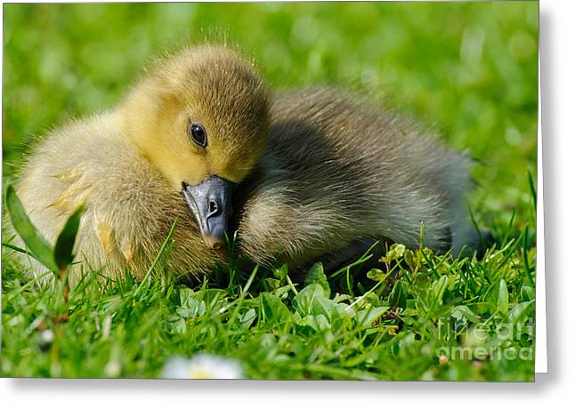 Greylag Greeting Cards - Young Greylag Goose Greeting Card by Willi Rolfes