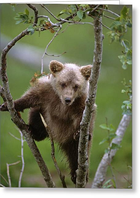 Precarious Greeting Cards - Young Grizzly Bear Cub Climbing In Tree Greeting Card by Doug Lindstrand