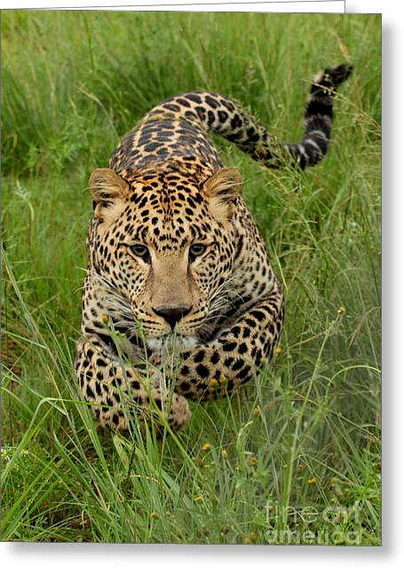 Take Charge Greeting Cards - Young leopard charging Greeting Card by  Rute Martins