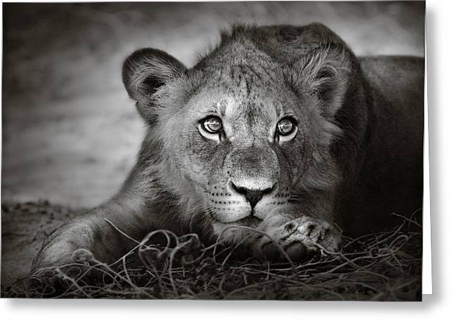 Monochrome Greeting Cards - Young lion portrait Greeting Card by Johan Swanepoel