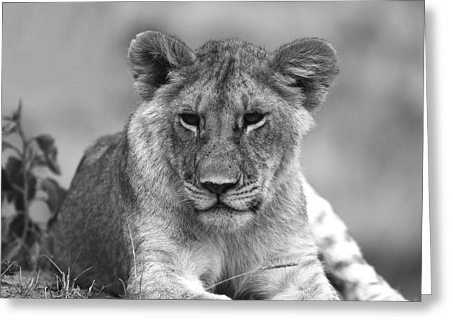 Lioness Greeting Cards - Young Lioness Greeting Card by Aidan Moran