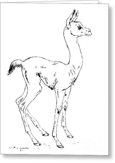 Llama Drawings Greeting Cards - Young llama - Lama glama Greeting Card by Kurt Tessmann