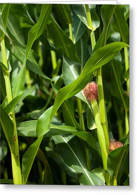 Recently Sold -  - Porridge Greeting Cards - Young Maize Plant Greeting Card by Frank Gaertner