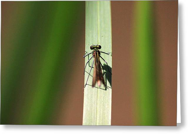 Demoiselles Greeting Cards - Young male banded demoiselle Greeting Card by Turnip Towers