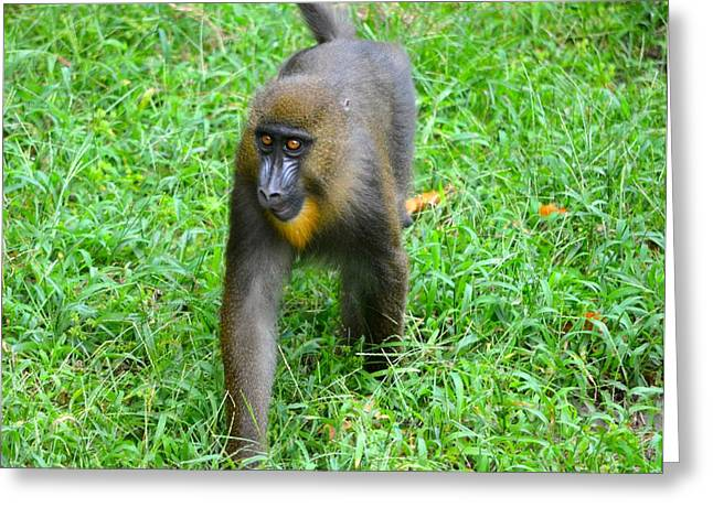 Jacksonville Greeting Cards - Young Mandrill Greeting Card by Richard Bryce and Family