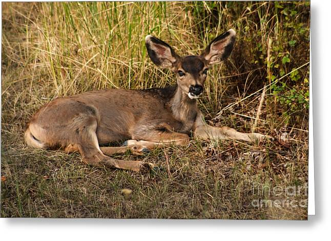 North Fork Greeting Cards - Young Mule Deer Greeting Card by Robert Bales