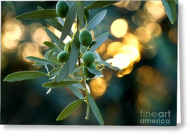 Olive Garden Greeting Cards - Young Olives On A Branch  Greeting Card by Leyla Ismet