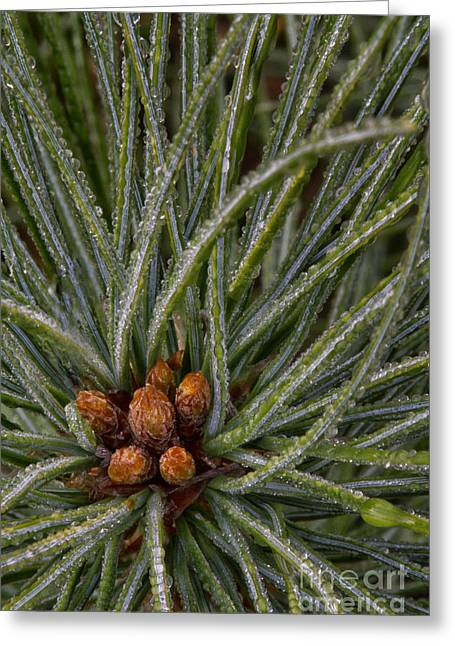 Dew Covered Greeting Cards - Young pine Greeting Card by Todd Bielby