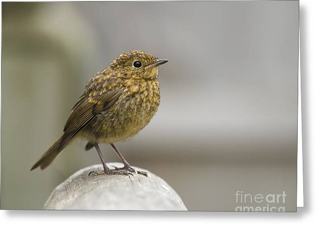 Fledglings Greeting Cards - Young Robin Greeting Card by Anne Gilbert