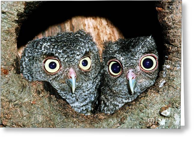Baby Bird Greeting Cards - Young Screech Owls Otis Asio Greeting Card by Millard H Sharp