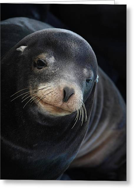 California Sea Lions Greeting Cards - Young Sea Lion Greeting Card by Bob and Jan Shriner