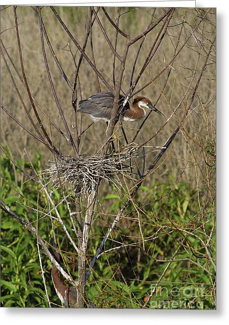 Egretta Tricolor Greeting Cards - Young Tricolored Heron In Nest Greeting Card by Gregory G. Dimijian
