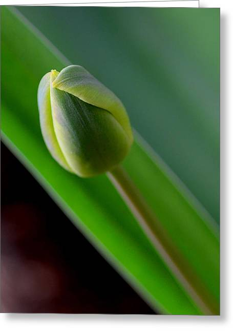 Seasonal Greeting Cards - Young Tulip Greeting Card by Lisa  Phillips