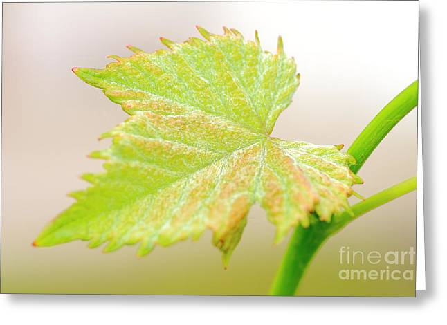 Close Focus Nature Scene Greeting Cards - Young vine leaf Greeting Card by Gregory DUBUS