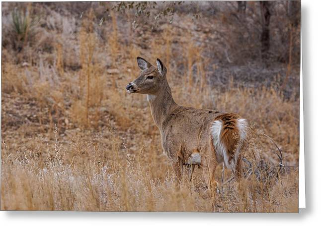 Fountain Creek Nature Center Greeting Cards - Young Whitetail Deer Greeting Card by Ernie Echols