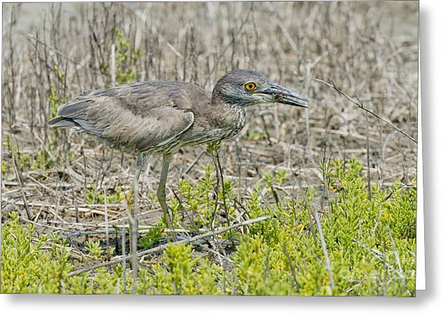Yellow-crowned Night Heron Greeting Cards - Young Yellow-crowned Night Heron Greeting Card by Anthony Mercieca