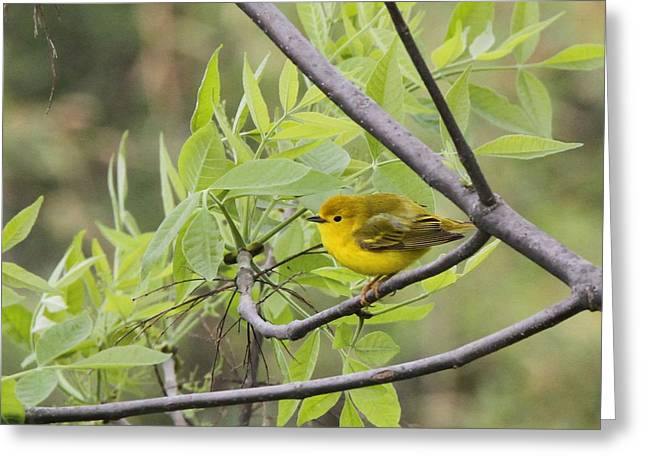 Wildlife Refuge. Greeting Cards - Young Yellow Warbler Greeting Card by Dan Sproul