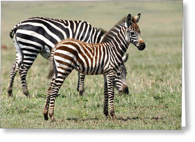 Zebra Colt Greeting Cards - Young Zebra Colt With Mother Serengeti Greeting Card by Pamela Buol
