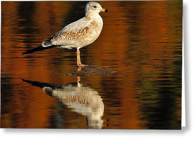 Ring-billed Gull Greeting Cards - Youthful Reflections Greeting Card by Tony Beck