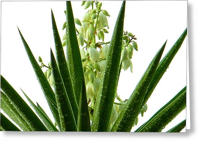 Bayonet Greeting Cards - Yucca Bloom Greeting Card by Christy Usilton