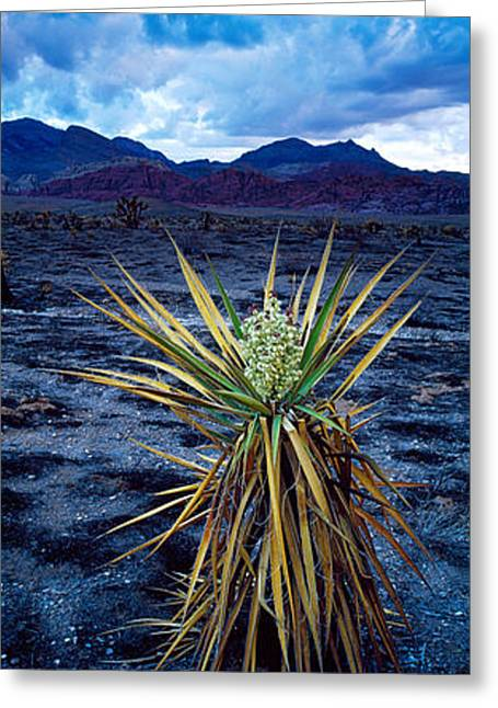 Red Rock Canyon Greeting Cards - Yucca Flower In Red Rock Canyon Greeting Card by Panoramic Images