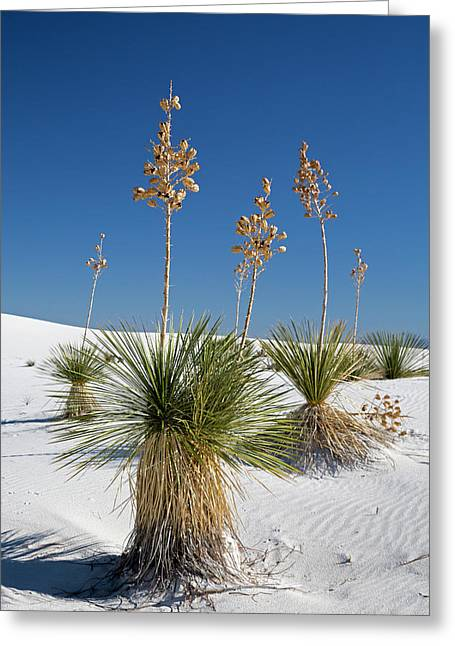 Yucca (yucca Elata) Plants Greeting Card by Jim West
