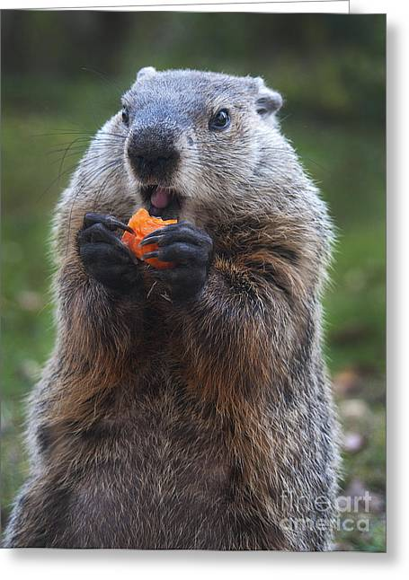 Groundhog Photographs Greeting Cards - Yum-Yum Greeting Card by Paul W Faust -  Impressions of Light