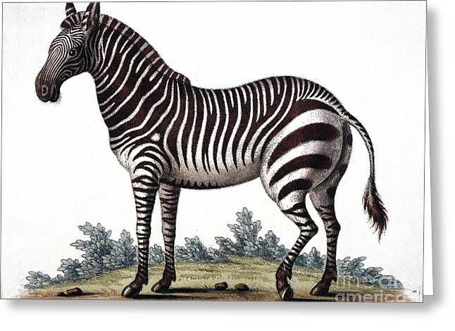 Gleaning Greeting Cards - Zebra, 18th Century Greeting Card by Natural History Museum, London