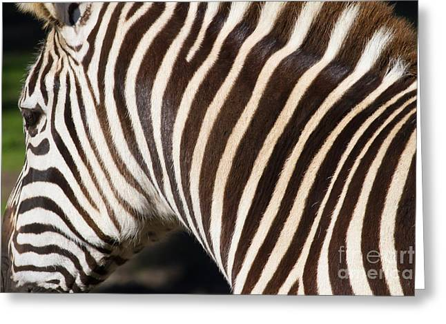 Harem Photographs Greeting Cards - Zebra 7D8894 Greeting Card by Wingsdomain Art and Photography