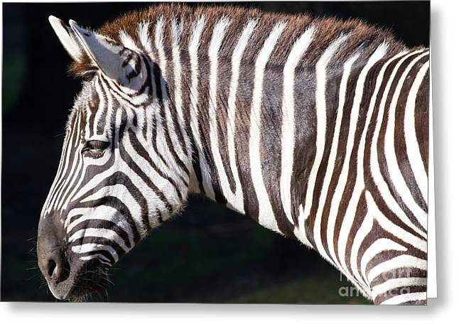 Harem Photographs Greeting Cards - Zebra 7D8908 Greeting Card by Wingsdomain Art and Photography