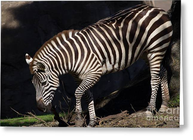 Harem Photographs Greeting Cards - Zebra 7D8949 Greeting Card by Wingsdomain Art and Photography