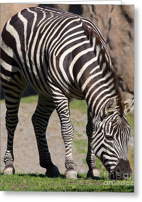 Harem Photographs Greeting Cards - Zebra 7D8972 Greeting Card by Wingsdomain Art and Photography