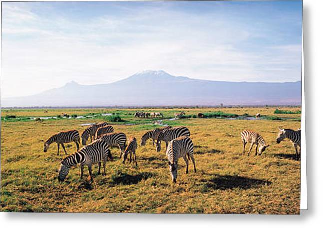 Mount Kilimanjaro National Park Greeting Cards - Zebra Amboseli Kenya Greeting Card by Panoramic Images
