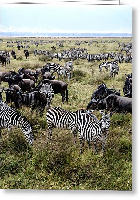 As Far As The Eye Can See Greeting Cards - Zebra and Wildebeest Greeting Card by Marc Levine