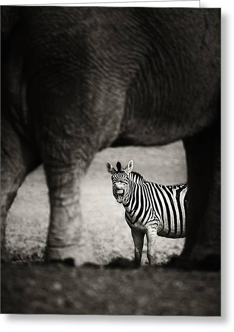 Through Greeting Cards - Zebra barking Greeting Card by Johan Swanepoel