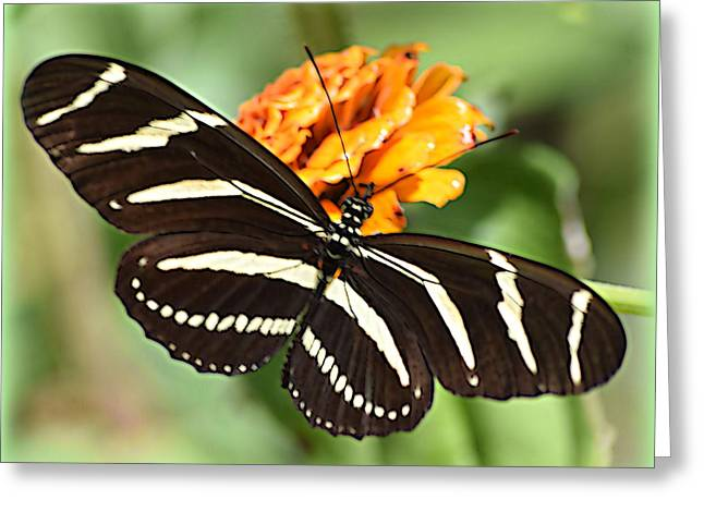 Zebra Canvas Art Prints Greeting Cards - Zebra Butterfly Beauty 1 Greeting Card by Sheri McLeroy
