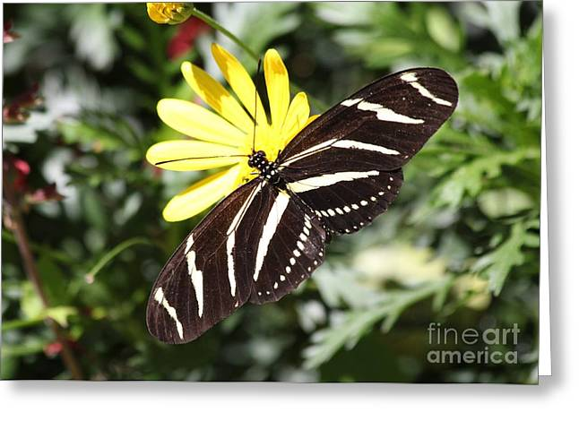 Eve Wheeler Greeting Cards - Zebra Butterfly H-1 Greeting Card by Eve Wheeler