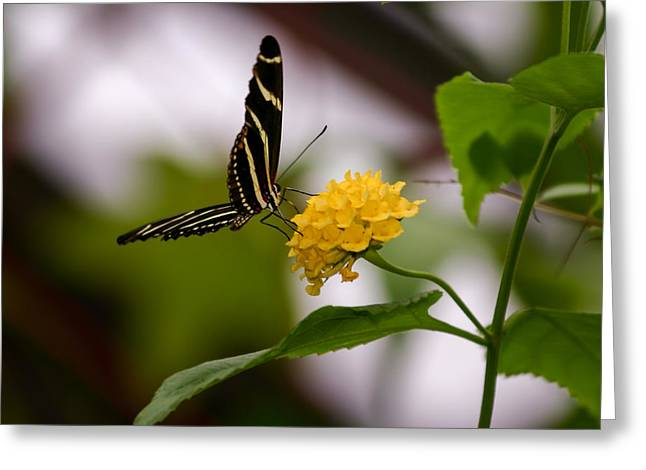 Eating Entomology Greeting Cards - Zebra Butterfly Greeting Card by Laura Duhaime