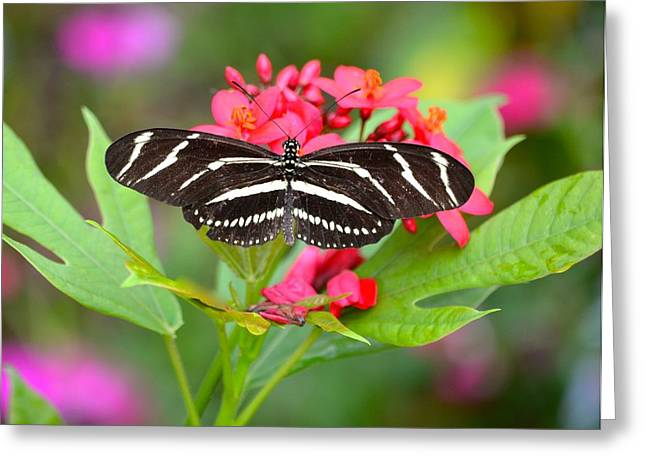 Jacksonville Greeting Cards - Zebra Butterfly Greeting Card by Richard Bryce and Family