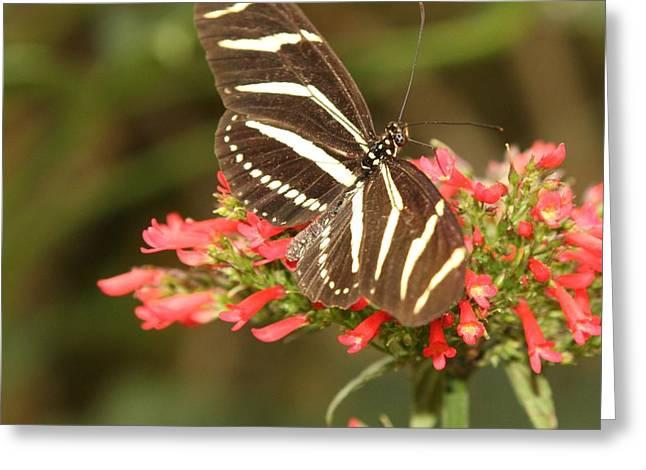 Eve Wheeler Greeting Cards - Zebra Butterfly S-2 Greeting Card by Eve Wheeler
