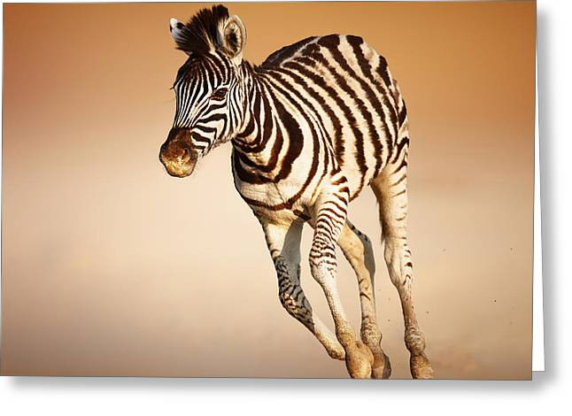 Equus Greeting Cards - Zebra calf running Greeting Card by Johan Swanepoel