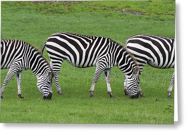 Prints Of Zebras Greeting Cards - Zebra Greeting Card by Chris Smith