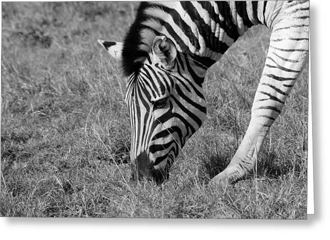 White Horses Photographs Posters Greeting Cards - Zebra Greeting Card by Chris Whittle