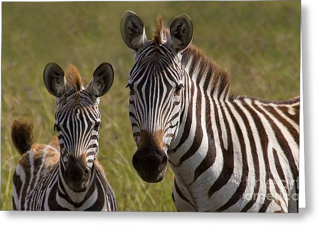 Zebra Colt Greeting Cards - Zebra Colt And Mare Greeting Card by J L Woody Wooden
