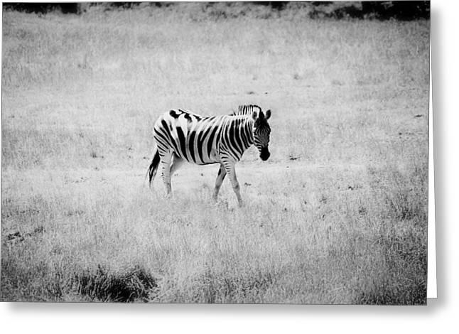 Prints Of Zebras Greeting Cards - Zebra Explorer Greeting Card by Melanie Lankford Photography